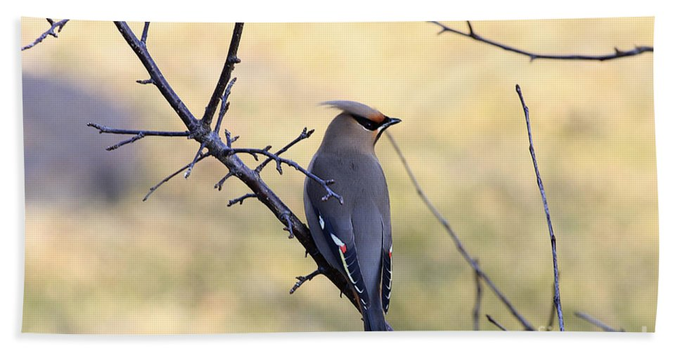 Waxwing Bath Sheet featuring the photograph Bohemian Cedar Waxwing In Spring by Deborah Benoit