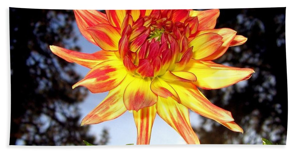 Dahlia Bath Sheet featuring the photograph Bold And Beautiful by Will Borden