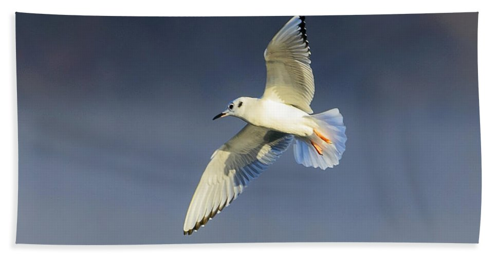 Bonaparte's Gull Hand Towel featuring the photograph Bonapartes Gull Banks In Flight by Steve Samples