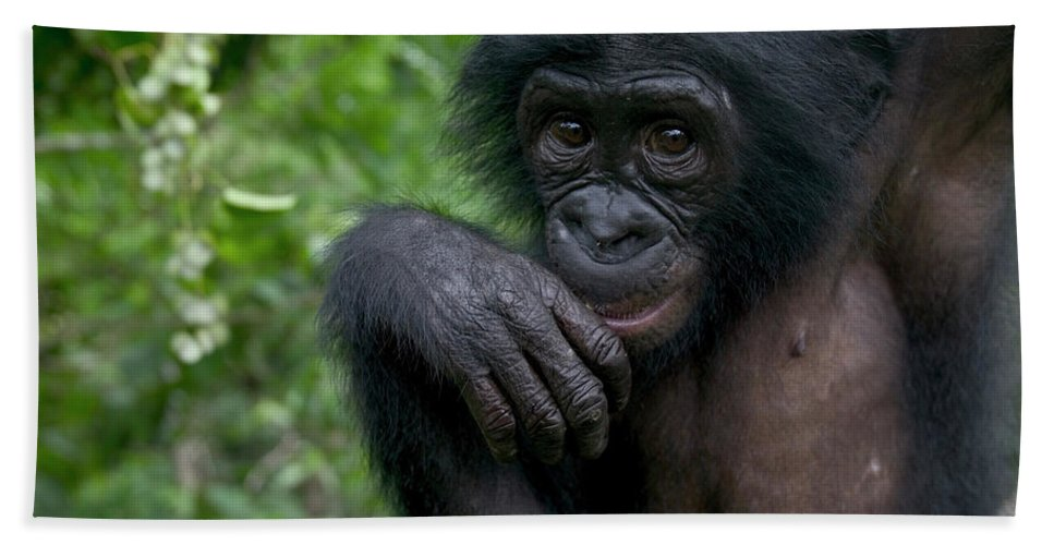 Mp Hand Towel featuring the photograph Bonobo Pan Paniscus Juvenile Orphan by Cyril Ruoso