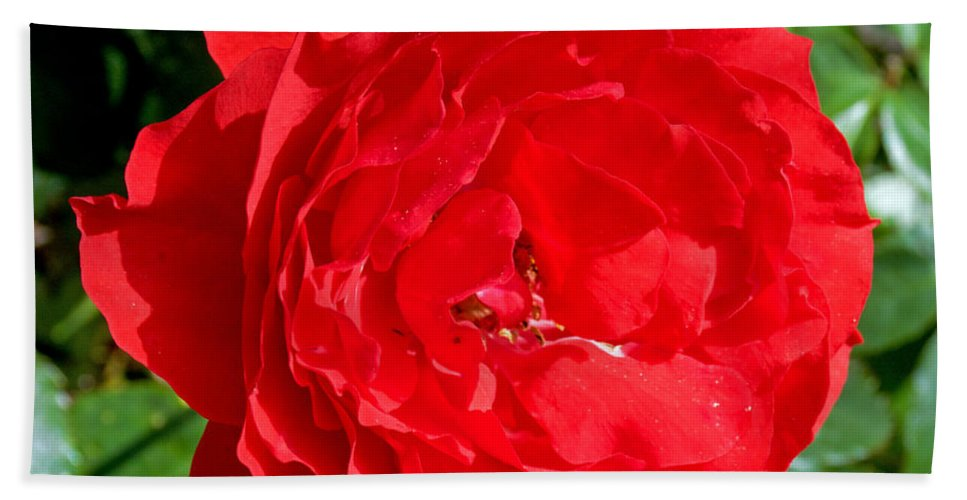 Bright Red Rose At Pilgrim Place In Claremont Hand Towel featuring the photograph Bright Red Rose At Pilgrim Place In Claremont-california by Ruth Hager