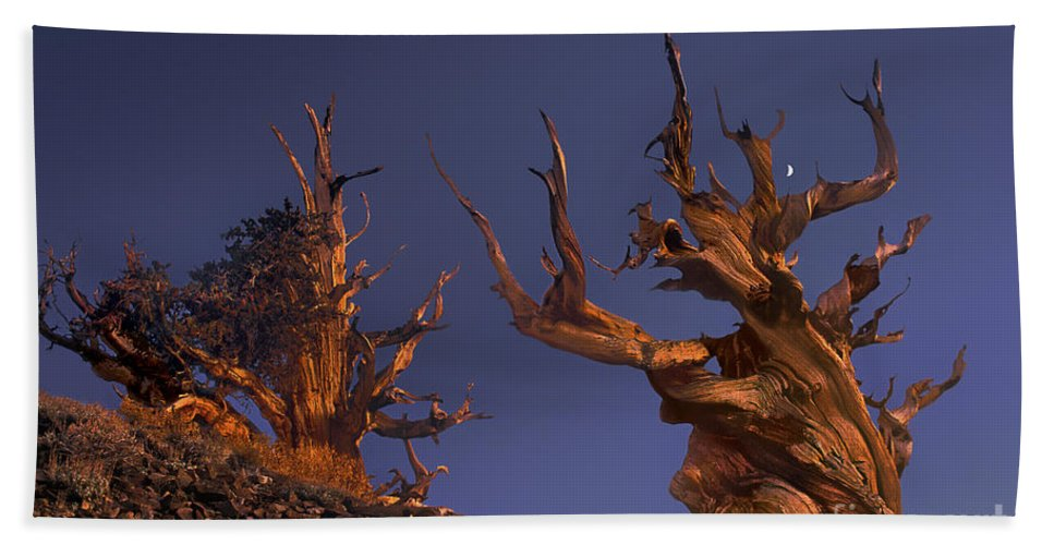 Bristlecone Pine Hand Towel featuring the photograph Bristlecone Pines At Sunset With A Rising Moon by Dave Welling