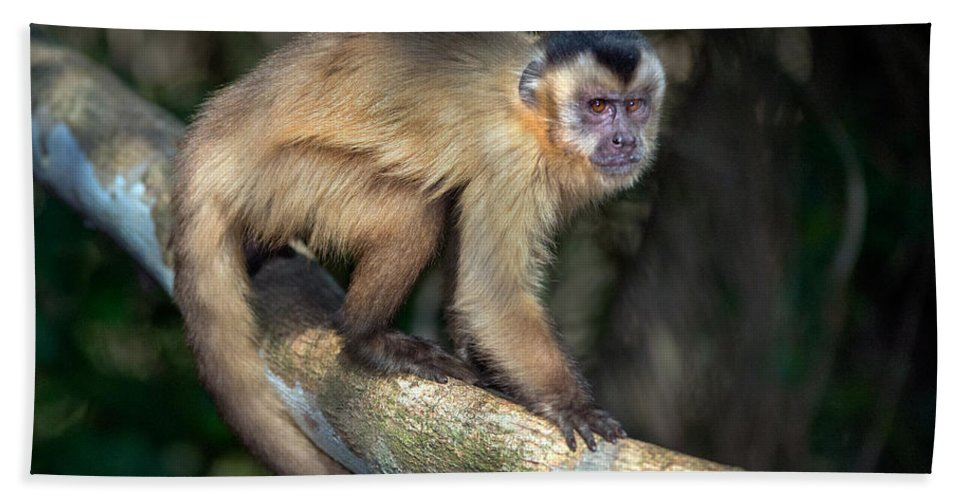 Photography Bath Sheet featuring the photograph Brown Capuchin Monkey Cebus Apella by Panoramic Images