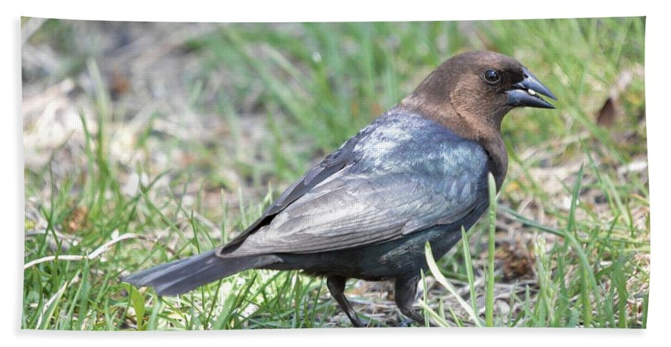 Animal Hand Towel featuring the photograph Brown-headed Cowbird 2 by Bonfire Photography