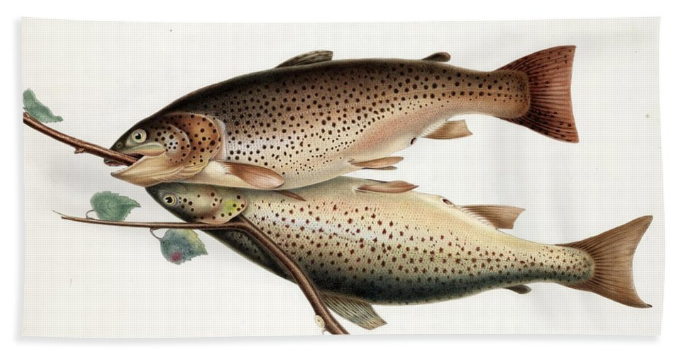 William Jardine Bath Sheet featuring the drawing Brown Trout by William Jardine