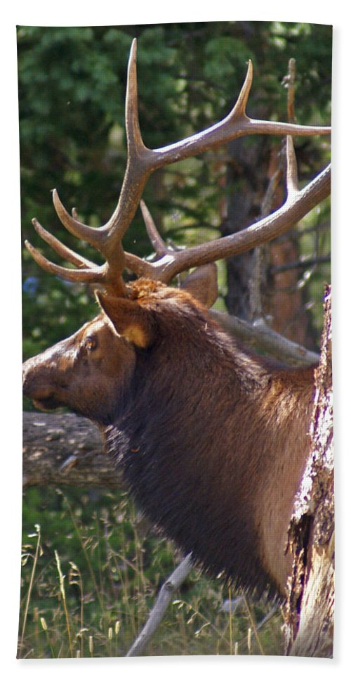 Elk Bath Sheet featuring the photograph Bull Elk 2 by Heather Coen