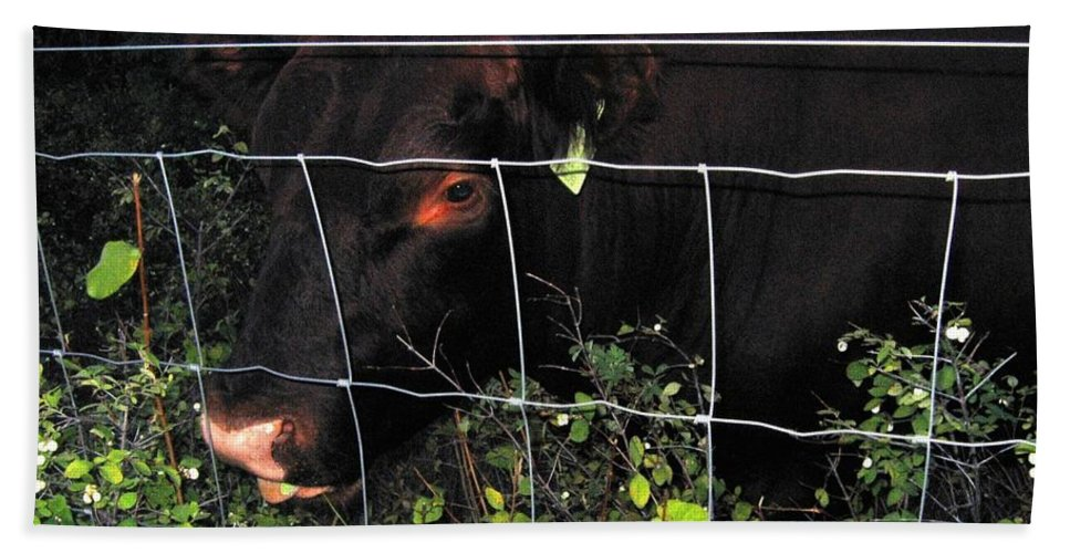 Bull Bath Sheet featuring the photograph Bull Nibbling On Snowberries by Will Borden
