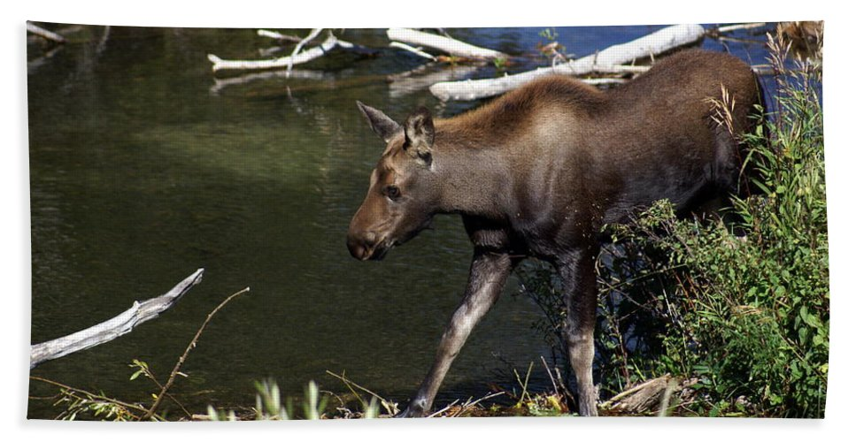 Grand Teton National Park Hand Towel featuring the photograph Calf Moose by Marty Koch