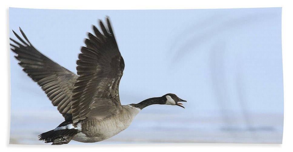 Goose Bath Sheet featuring the photograph Canada Goose by Gary Beeler