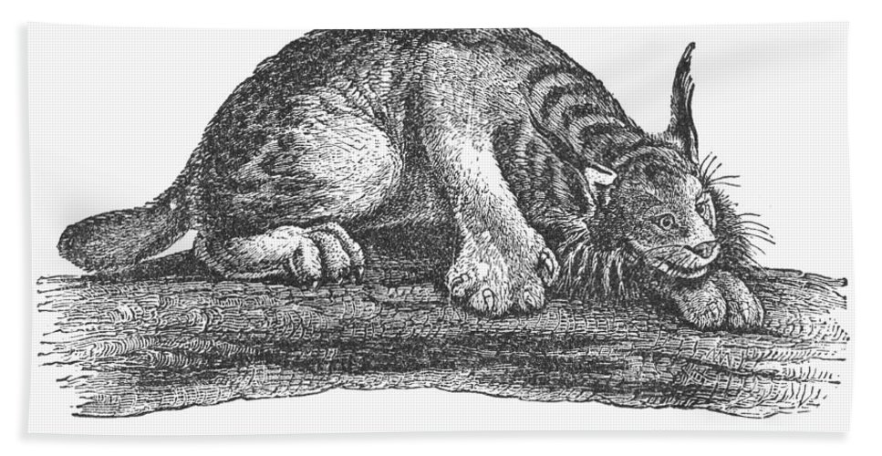 1873 Bath Sheet featuring the photograph Canada Lynx, 1873 by Granger