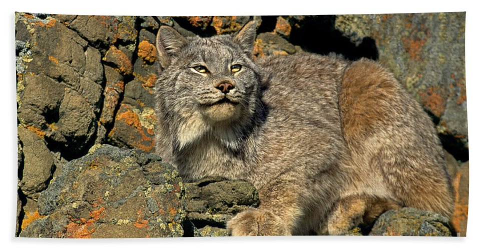 Canadian Lynx Bath Sheet featuring the photograph Canadian Lynx On Lichen-covered Cliff Endangered Species by Dave Welling