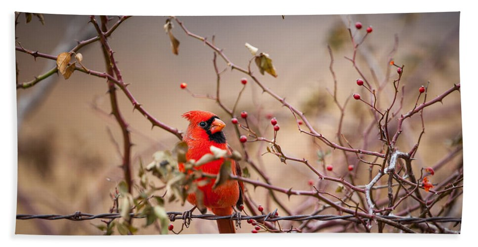 Bird Hand Towel featuring the photograph Cardinal With A Mouthful Of Hips by Jeff Phillippi
