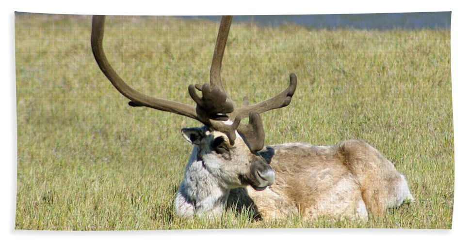 Caribou Bath Towel featuring the photograph Caribou Rest by Anthony Jones