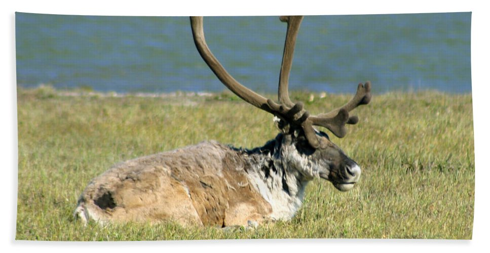 Caribou Bath Towel featuring the photograph Caribou Resting by Anthony Jones