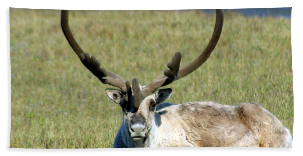 Caribou Hand Towel featuring the photograph Caribou Resting In Tundra Grass by Anthony Jones