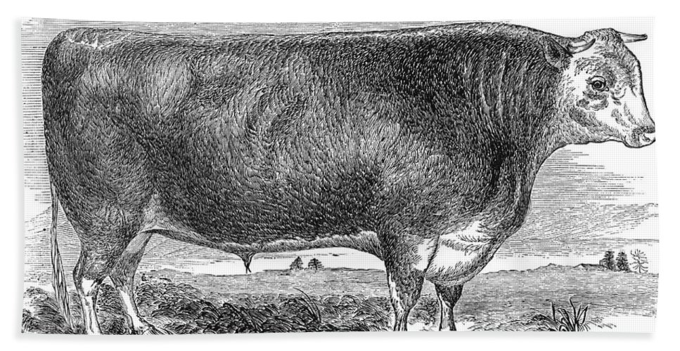 1880s Hand Towel featuring the photograph Cattle, C1880 by Granger