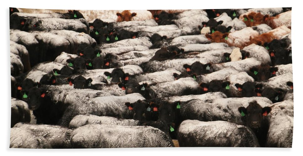 Cows Bath Sheet featuring the photograph Cattle With Snow On Their Backs by Jeff Swan