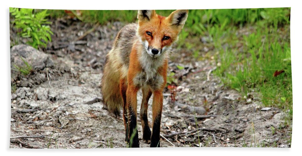 Fox Hand Towel featuring the photograph Cautious But Curious Red Fox Portrait by Debbie Oppermann