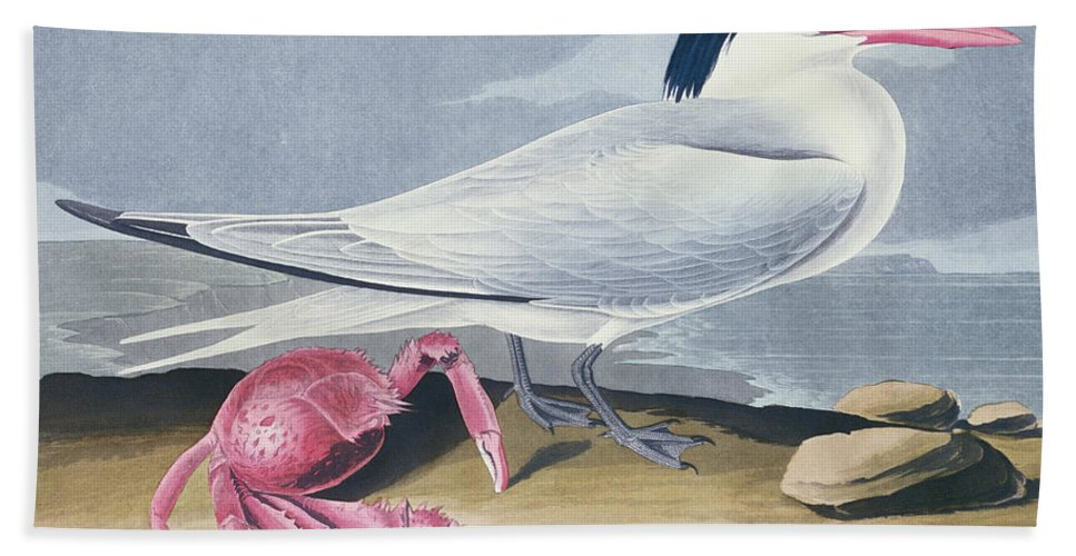Tern Hand Towel featuring the painting Cayenne Tern by John James Audubon