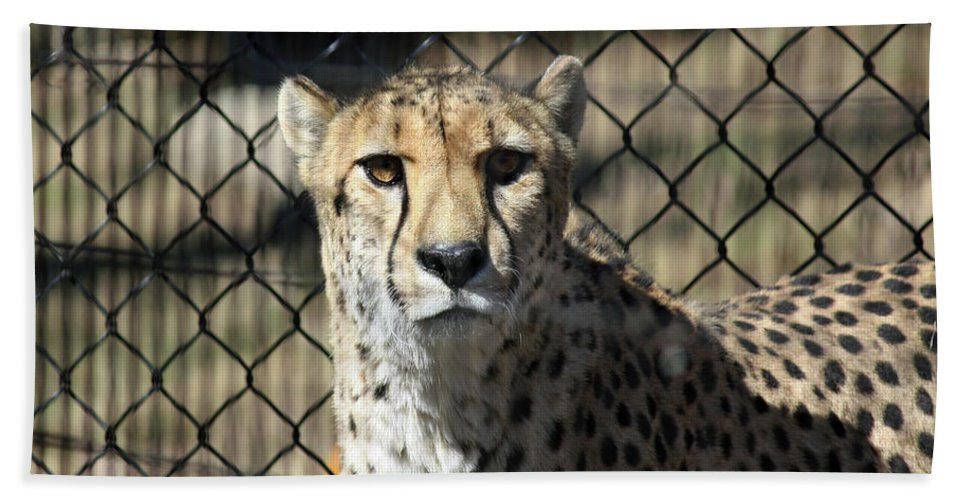 Maryland Hand Towel featuring the photograph Cheetah Alert by Ronald Reid