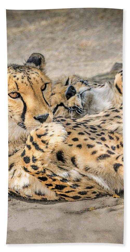 Lounge Cat Hand Towel featuring the photograph Cheetah Lounge Cats by LeeAnn McLaneGoetz McLaneGoetzStudioLLCcom