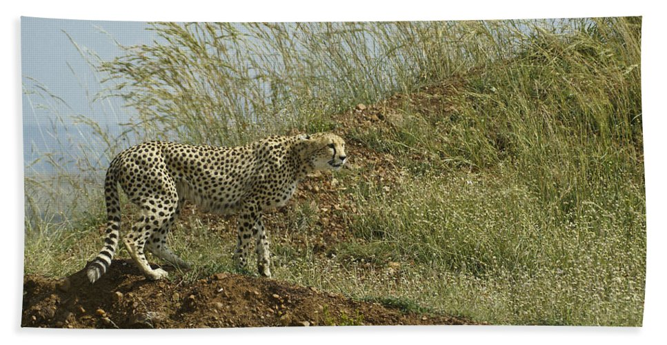 Africa Hand Towel featuring the photograph Cheetah On The Prowl by Michele Burgess
