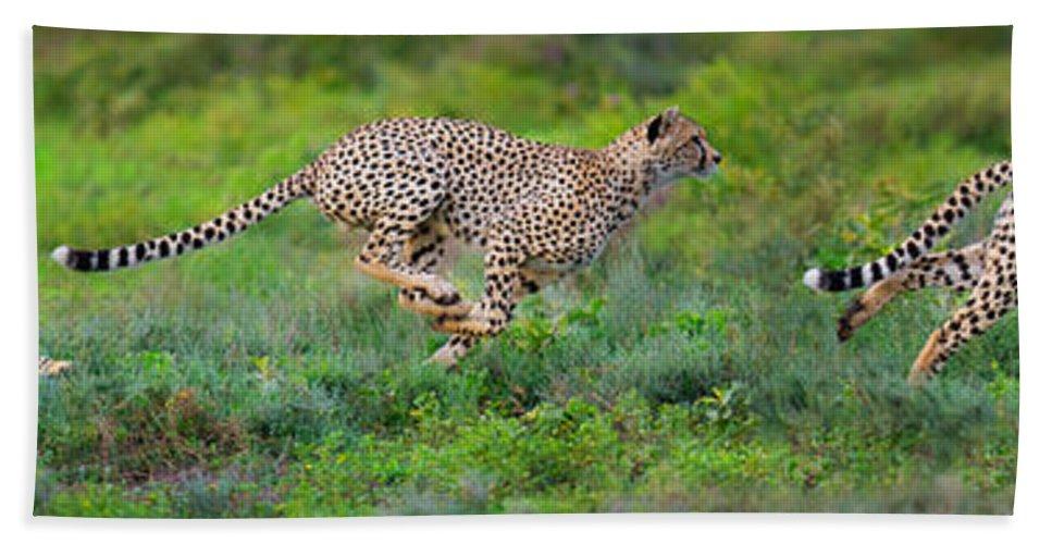 Photography Bath Sheet featuring the photograph Cheetahs Acinonyx Jubatus Hunting by Panoramic Images