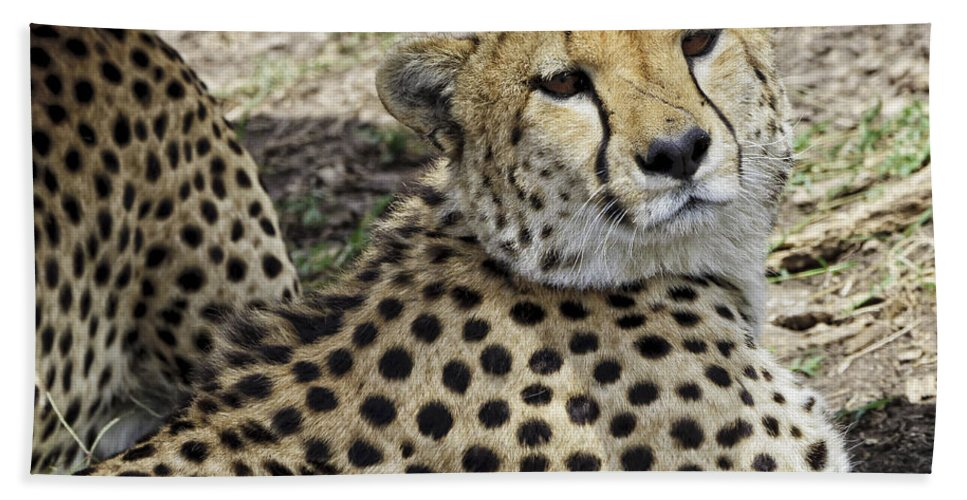 Africa Hand Towel featuring the photograph Cheetahs Resting by Perla Copernik