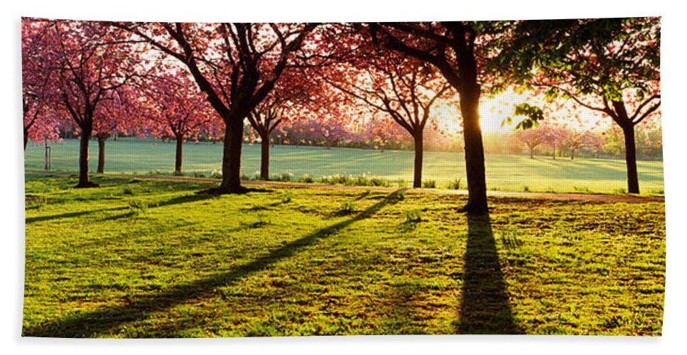 Photography Bath Sheet featuring the photograph Cherry Blossom In A Park At Dawn by Panoramic Images
