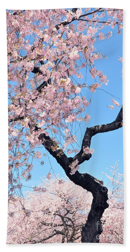 Cherry Blossoms Hand Towel featuring the photograph Cherry Blossom Trilogy II by Regina Geoghan