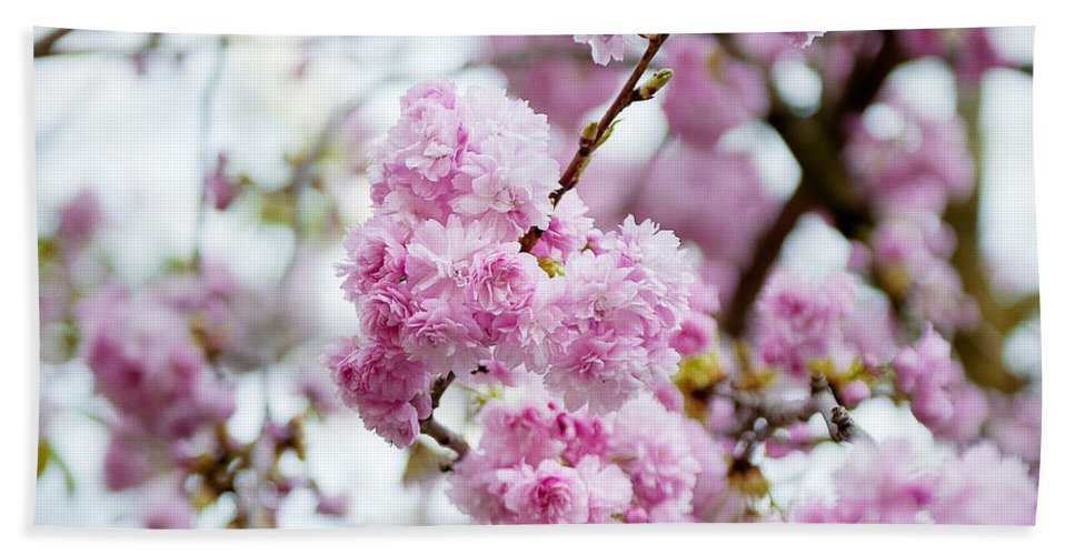 Angsanaseeds Hand Towel featuring the photograph Cherry Blossoms by Ivy Ho