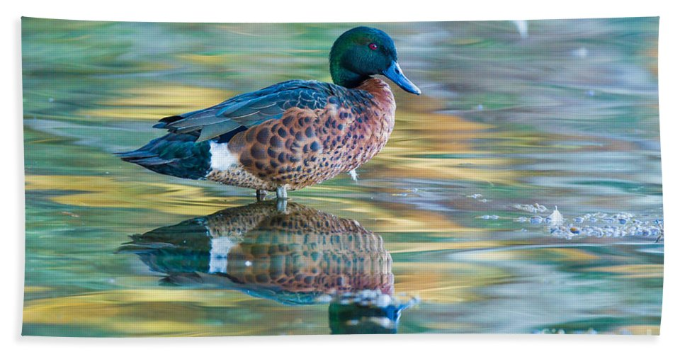 Chestnut Teal Bath Towel featuring the photograph Chestnut Teal Drake by B.G. Thomson