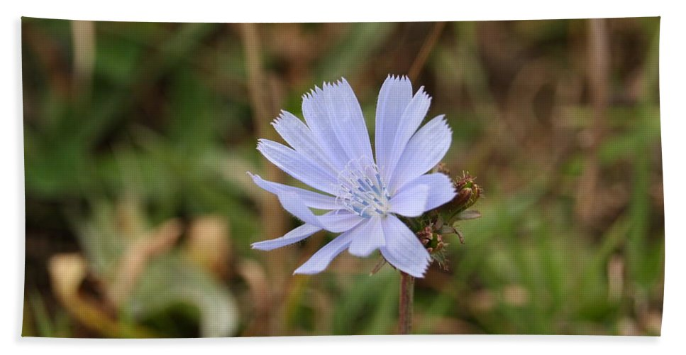 Chicory Hand Towel featuring the photograph Chicory Blue by Stacey Scott