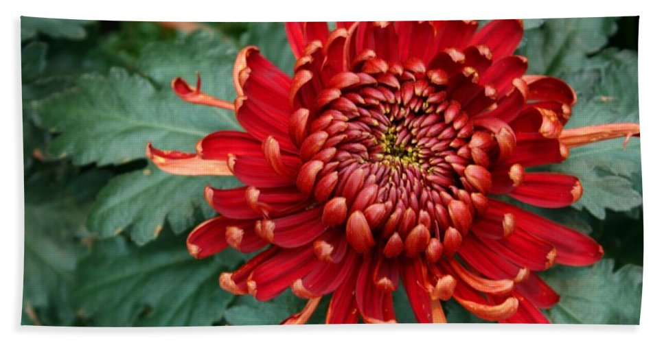 Plants Hand Towel featuring the photograph Christmas Chrysanthemum by Angie Schutt