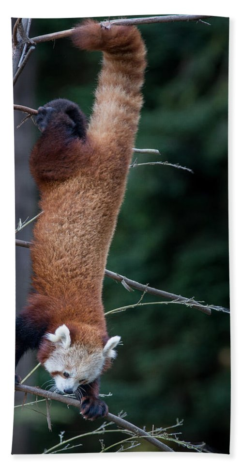 Red Panda Bath Sheet featuring the photograph Climbing Down by Greg Nyquist