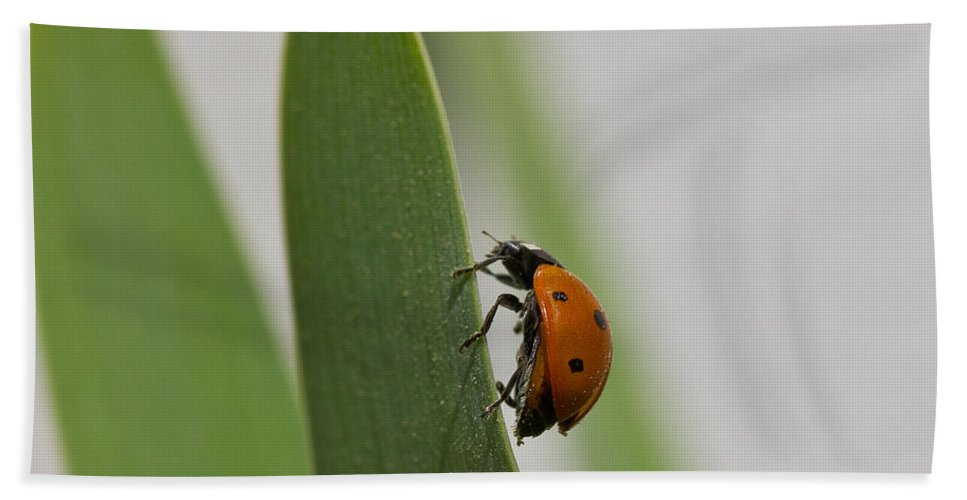 Background Bath Sheet featuring the photograph Close Up Of A Ladybug Walking On A Long Green Leaf by Mayank Yadav