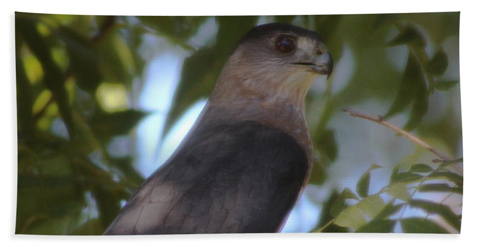 Peregrine Falcon Bath Sheet featuring the photograph Closeup Headshot Of Gray Peregrine Falcon by Colleen Cornelius