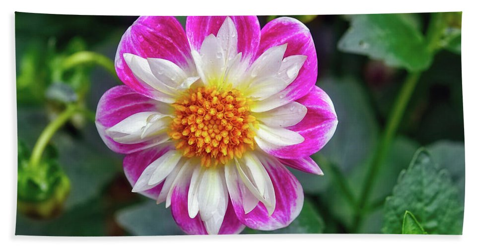 Dahlia Hand Towel featuring the photograph Closeup View Of A Dahlia That Was In The Cesky Krumlov Castle Gardens by Richard Rosenshein