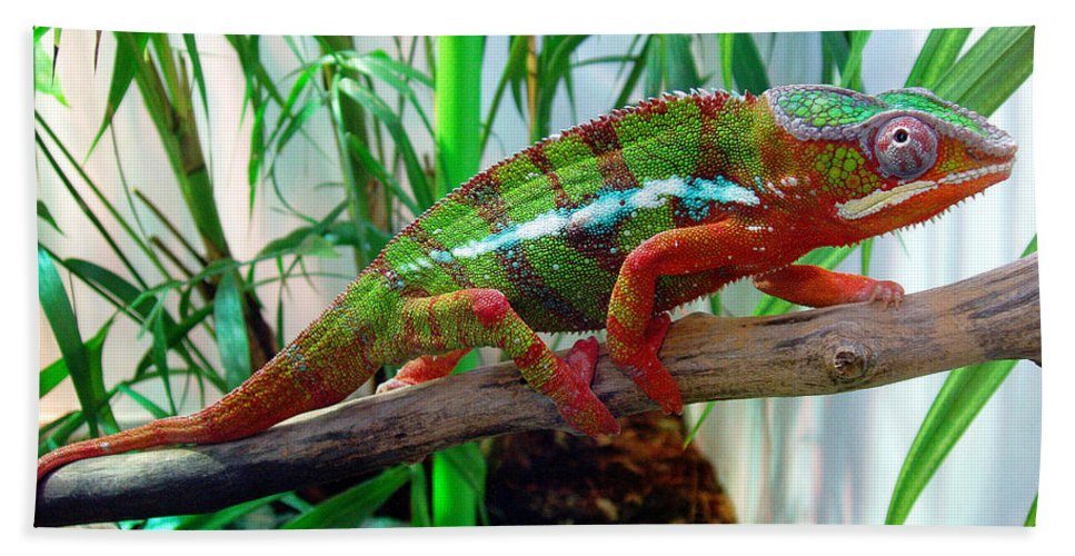 Chameleon Bath Sheet featuring the photograph Colorful Chameleon by Nancy Mueller
