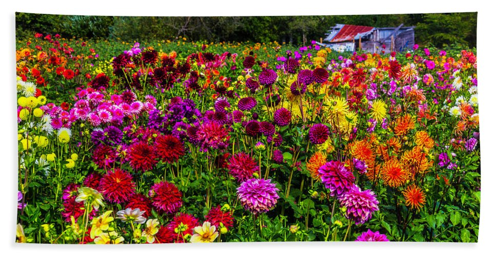 Dahlia Hand Towel featuring the photograph Colorful Dahlias In Garden by Garry Gay