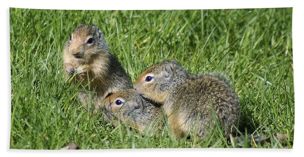 Spokane Hand Towel featuring the photograph Columbian Ground Squirrels by Ben Upham III