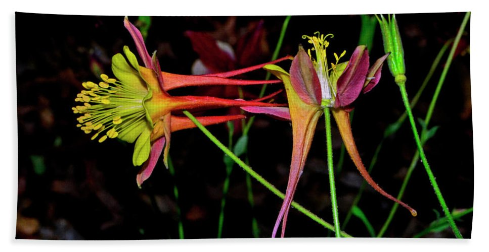 Flower Hand Towel featuring the photograph Columbine - Aquilegia - Mckana's Giant 003 by George Bostian