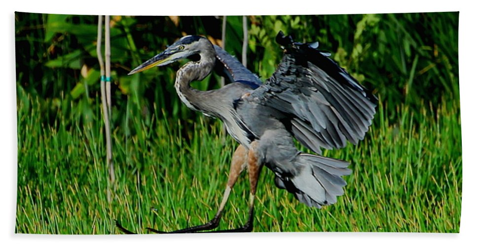 Great Blue Heron Bath Sheet featuring the photograph Coming In For A Landing by Barbara Bowen