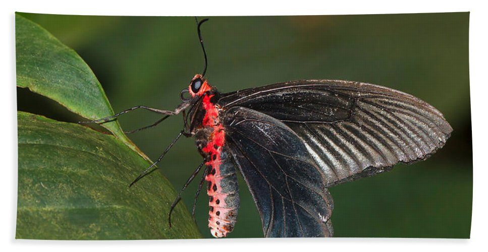 Butterfly Bath Sheet featuring the photograph Common Rose Butterfly by Louise Heusinkveld