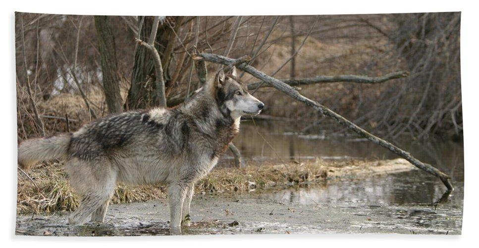 Wolf Canid Canus Lupis Wildlife Wild Animal Mammal Gray Grey Timberwolf Photograph Photography Digital Art Bath Sheet featuring the photograph Concentration by Shari Jardina