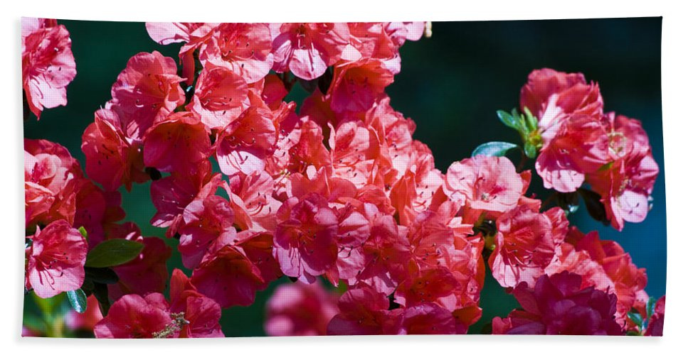 Azalea Bath Sheet featuring the photograph Coral Azaleas by Teresa Mucha
