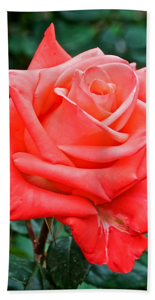 Coral Rose At Pilgrim Place In Claremont Hand Towel featuring the photograph Coral Rose At Pilgrim Place In Claremont-california  by Ruth Hager
