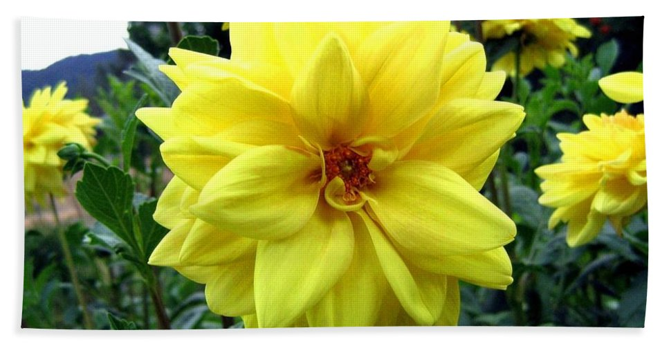 Yellow Dahlias Hand Towel featuring the photograph Country Dahlias by Will Borden