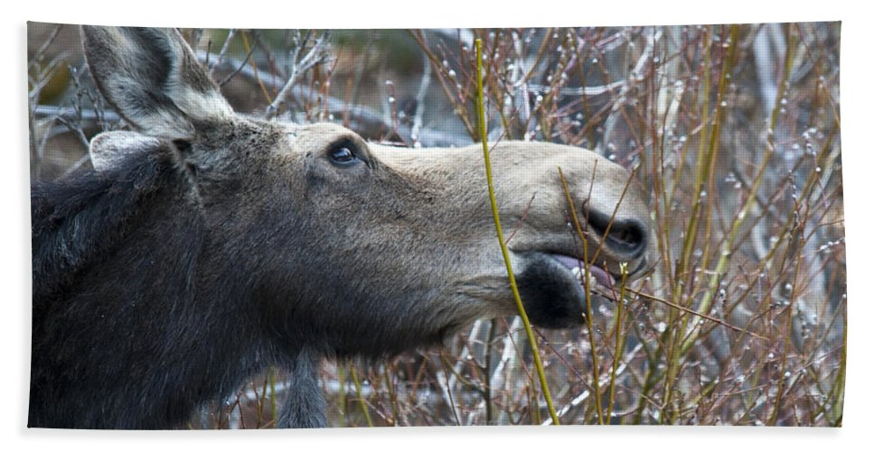 Moose Bath Sheet featuring the photograph Cow Moose Dining On Willow by Gary Beeler