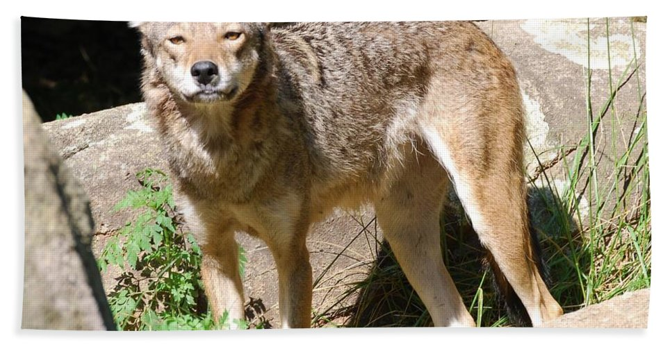 Coyote Bath Sheet featuring the photograph Coyote Grin by Eric Liller